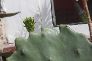 A great sign! Growth on Prickly Pear after planting it in the ground - early 2017