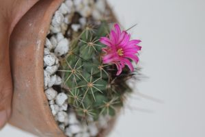 Mammillaria melanocentra ssp rubrograndis by Andrea Afra/Sucs for You