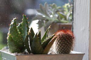 Aloe distans, center
