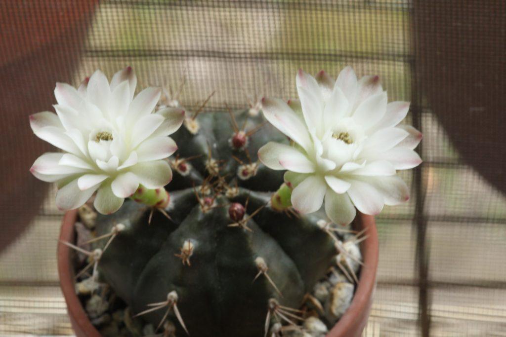 Gymnocalycium Mihanovichii v Friedrichii flowers
