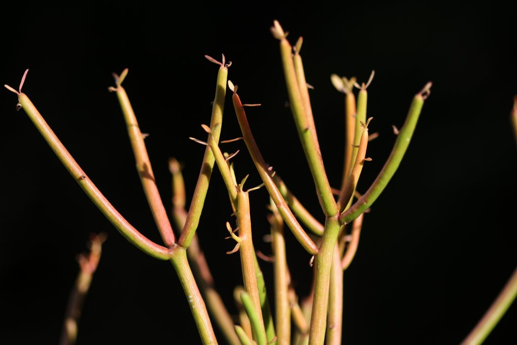 Euphorbia Tirucalli 'Sticks on Fire' aglow from the cooler weather