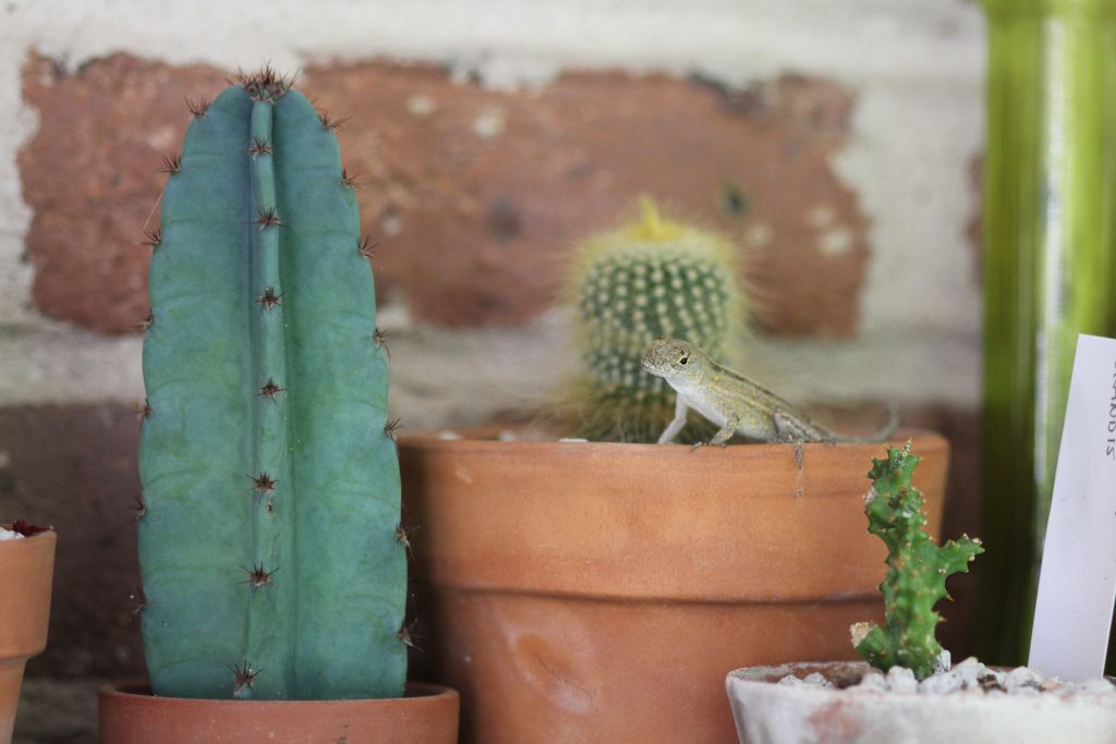 Photo: Cereus pervianus with friends