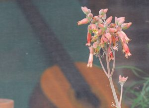 Kalanchoe gastonis-bonnieri 'Donkey Ears' flowers