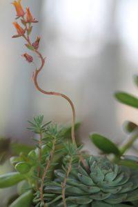 Echeveria minima flower