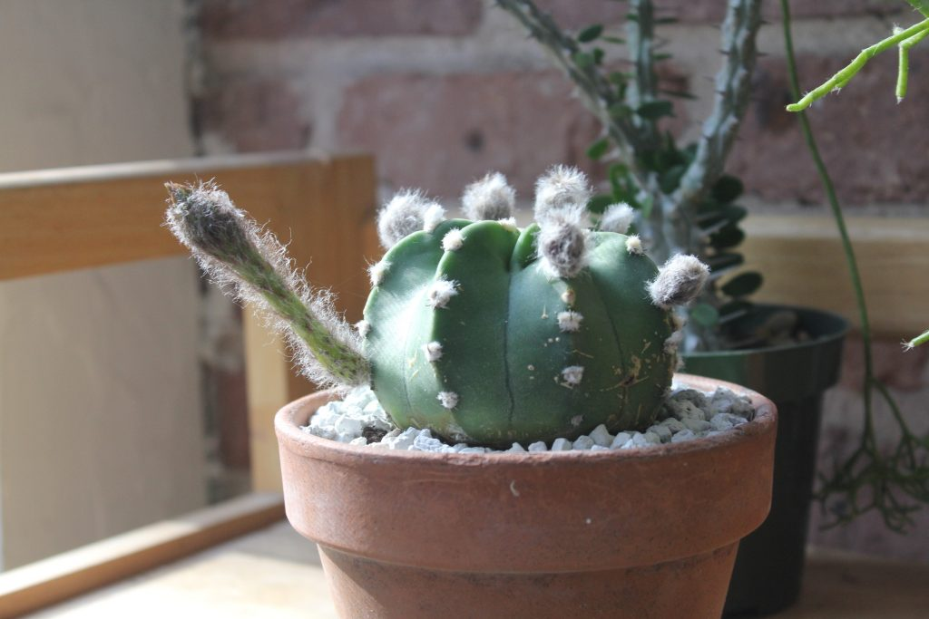 Echinopsis subdenudata Domino cactus