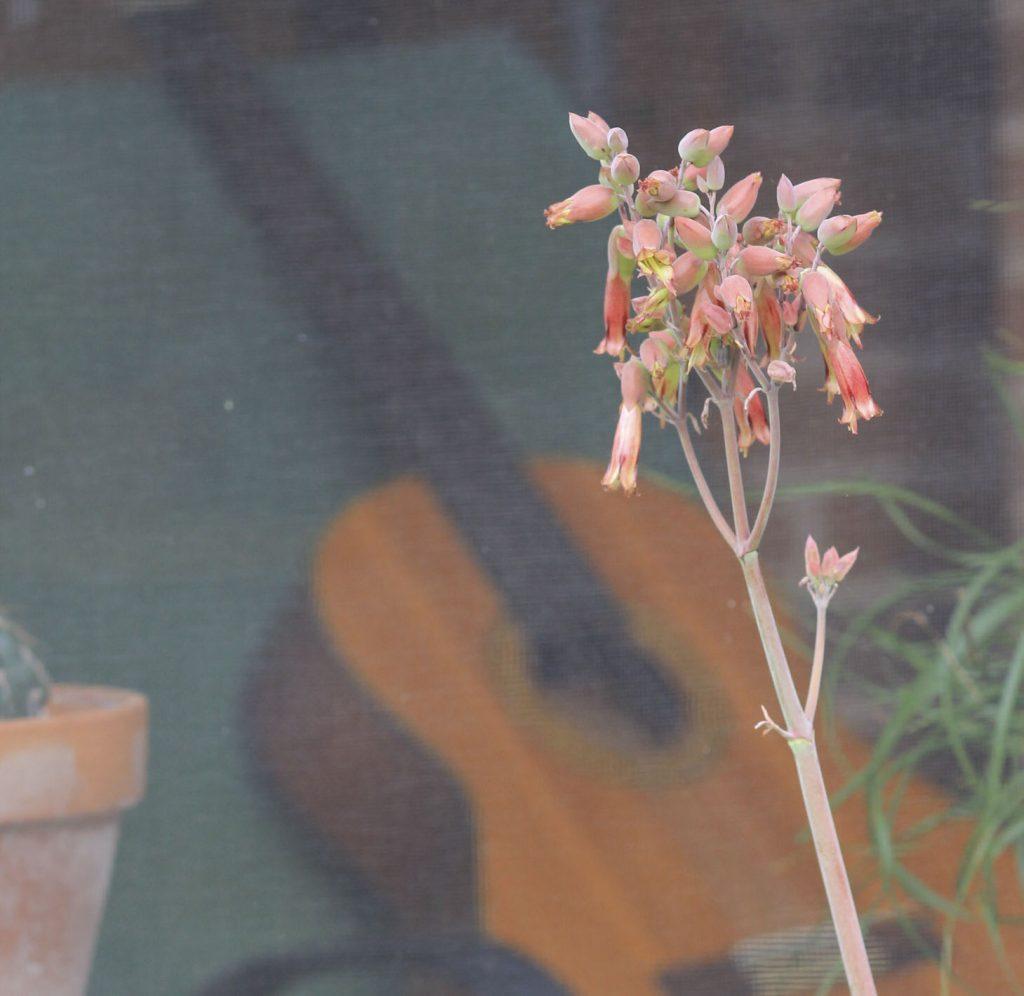 Kalanchoe gastonis-bonnieri Donkey Ears flowers