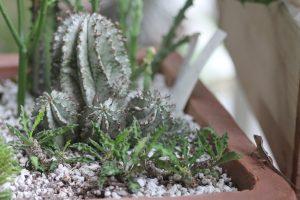 Euphorbia polygona Snowflake (back)