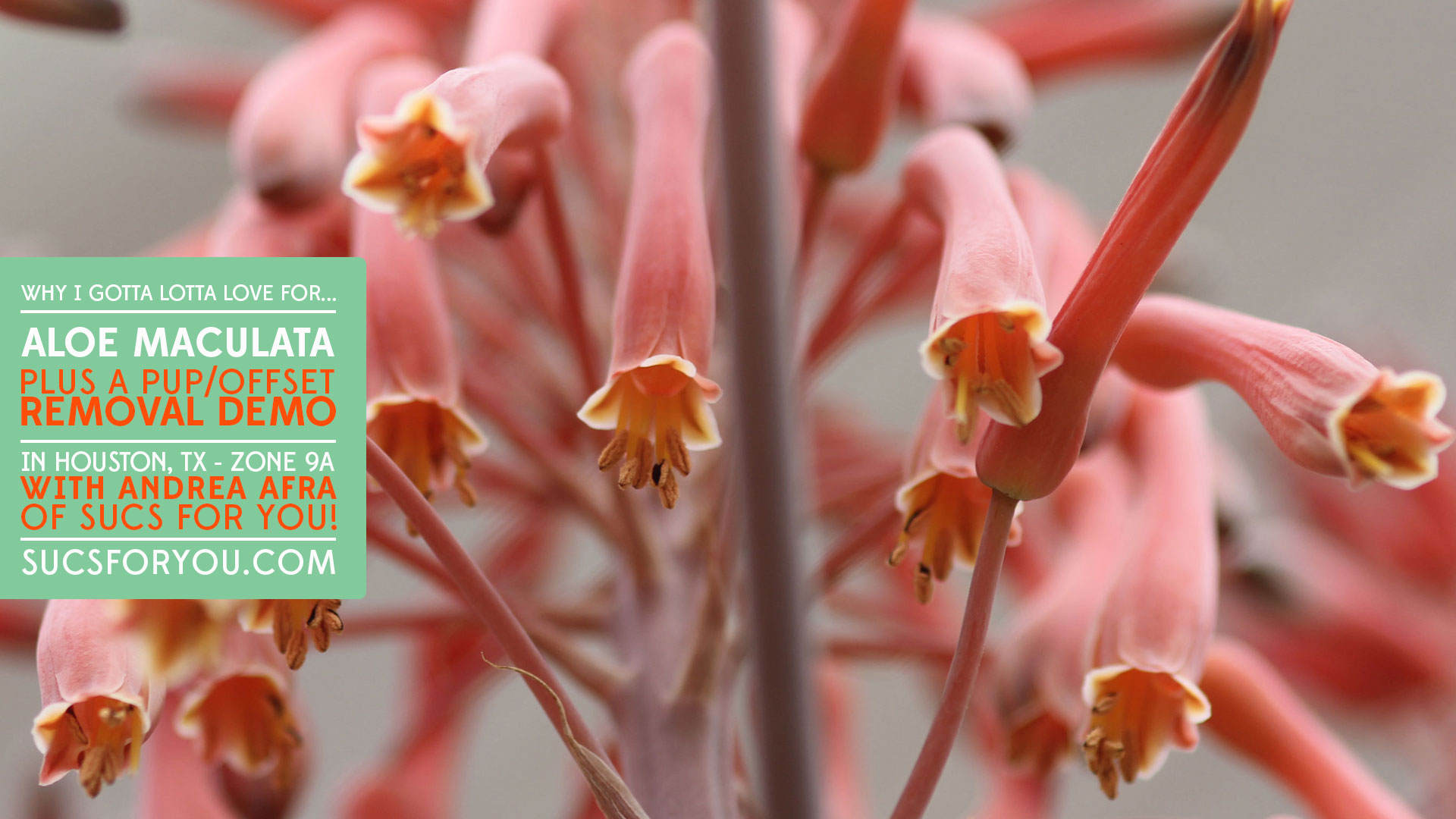 Aloe maculata demo