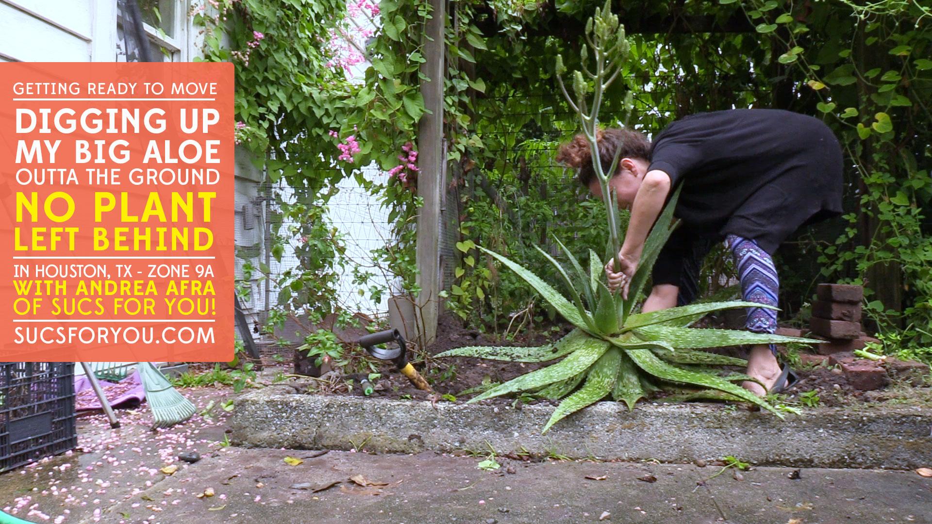 Digging up a big Aloe