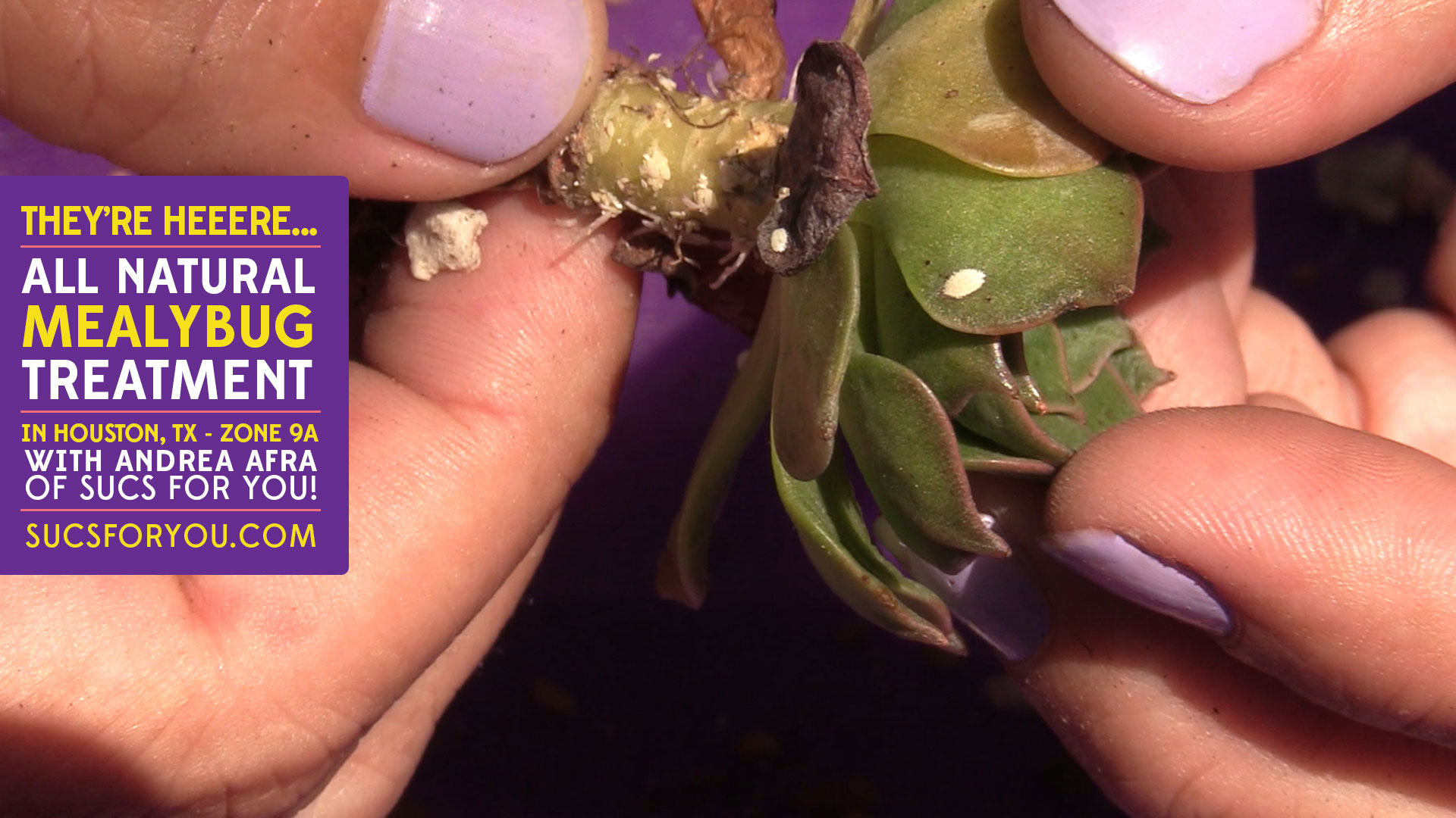 All Natural Mealybug Treatment for Succulents