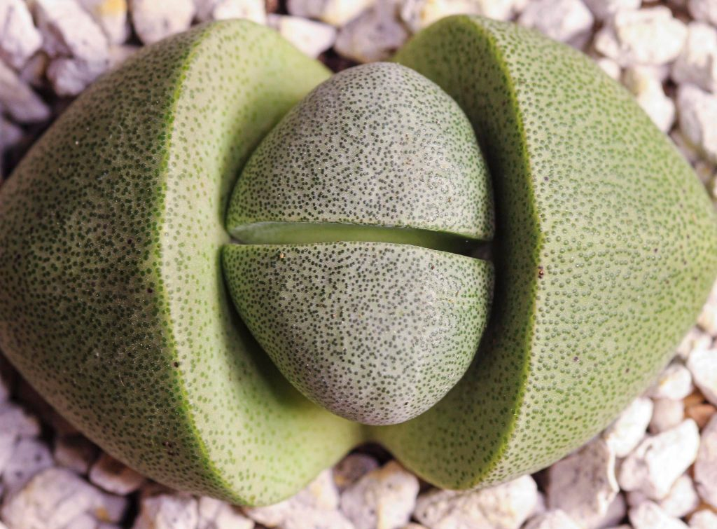 Pleiospilos Split Rock