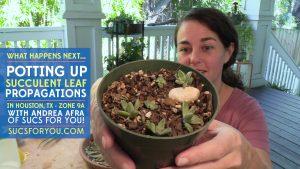Potting up succulent leaf propagations...what happens next
