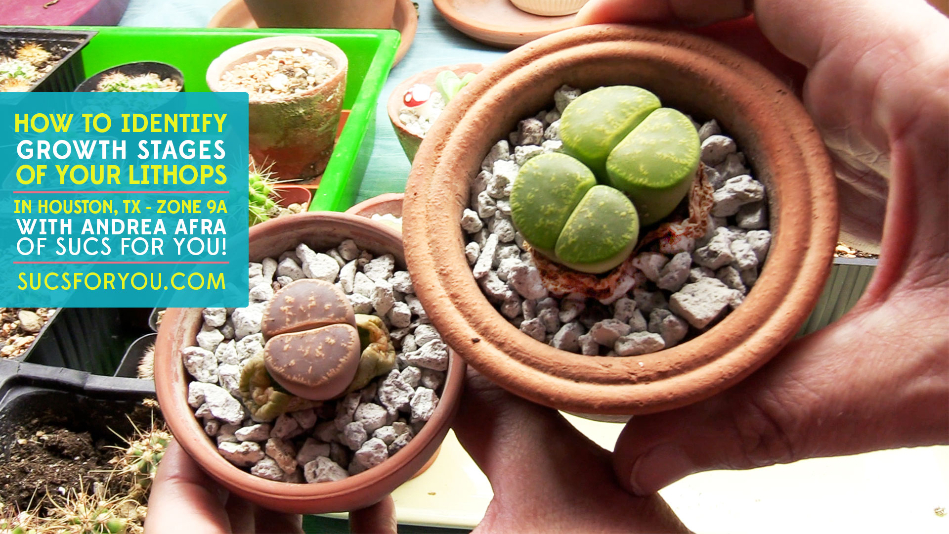 identify what stage of growth your Lithops is in